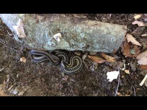 Snakes in the Wood Pile