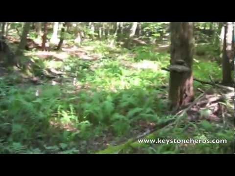 Wild Turkey Tail Mushrooms For Tea Making