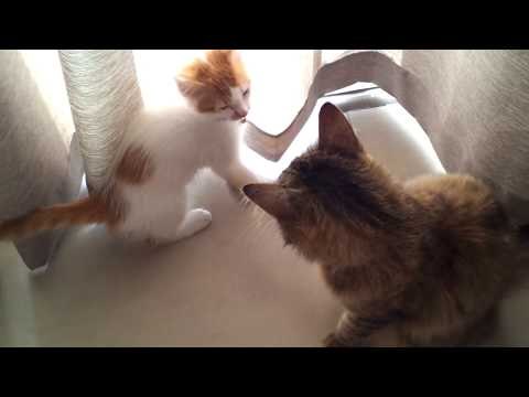 Introducing a kitten to an adult cat