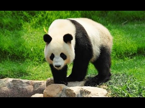 What is this panda doing !! Oh my god ( panda gone crazy)😓😯