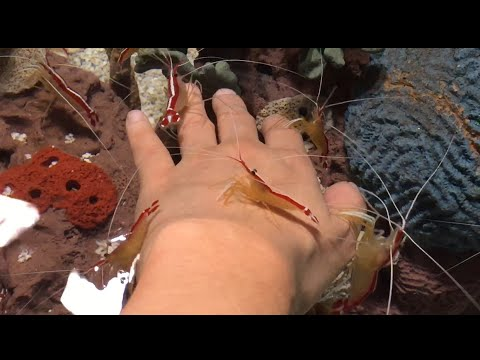 Cleaner Shrimp Cleaning My Hand