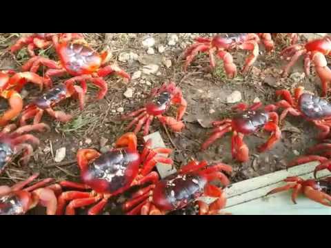 Christmas Island Crab Migration 2015