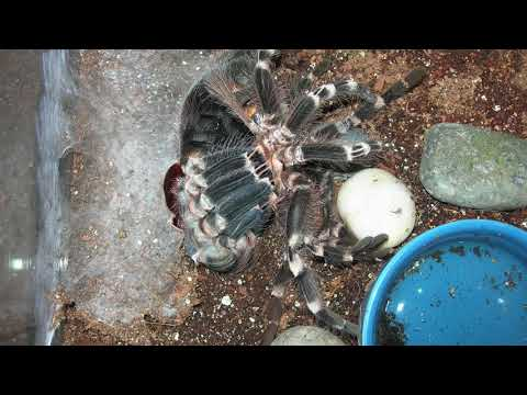 Tarantula Molting Time-Lapse: A. geniculata