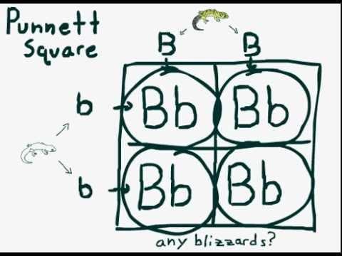 Reptile Breeding Genetics -part 2- Simple Recessive Crosses, Punnett Square