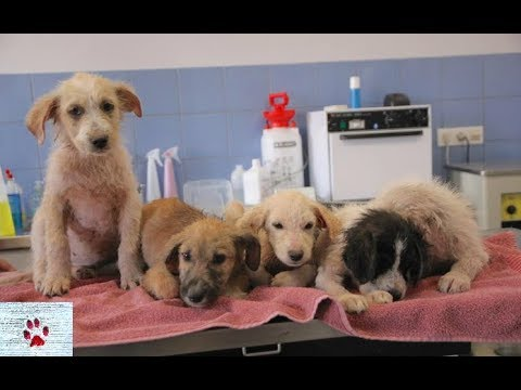 Mangy stray puppies and their first therapeutic bath at the shelter