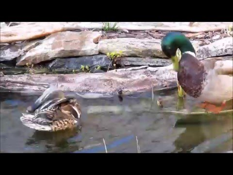 Mallard Ducks in my Pond