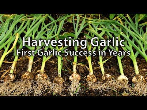 Harvesting Garlic and Succession Planting Salads