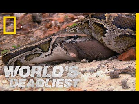 Serpent King | World's Deadliest