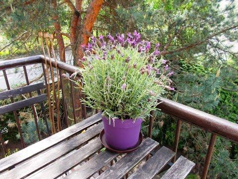 French lavender - Lavandula stoechas