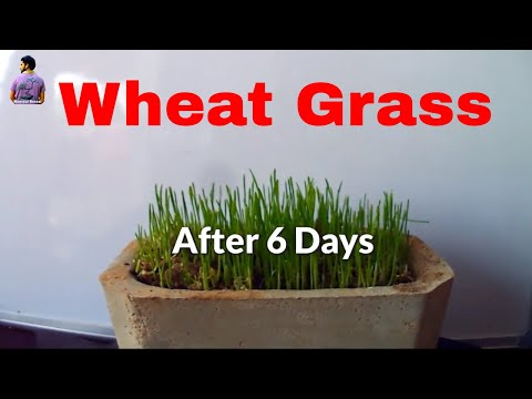 Easy Way to Grow Wheat Grass in Pot /Grow Green /Gardening Tips- 2 Dec 2017 Mammal Bonsai