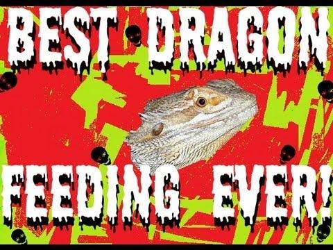 BEST DRAGON FEEDING EVER!