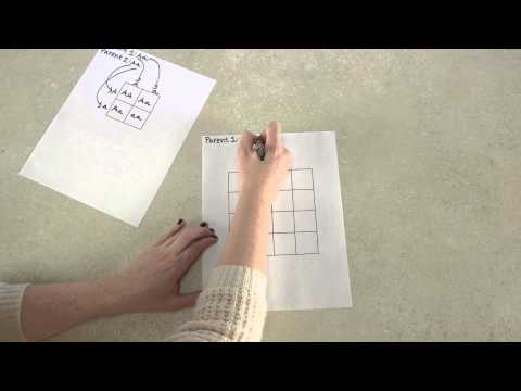 Drawing, making, and using a Punnett Square   V4