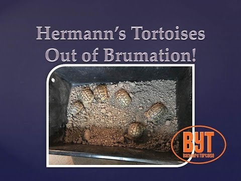 Hermann's torts out of brumation! Backyard Tortoises Weekly Update: Shoots of Scutes & Scales