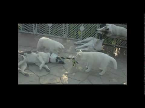 AKC REGISTERED SIBERIAN HUSKIES (LULU'S AND COCO'S LITTER)