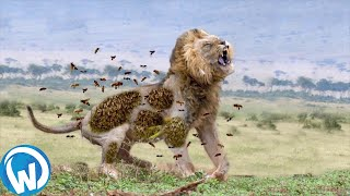 He Never Stood A Chance... Animal Fights Filmed Mercilessly!