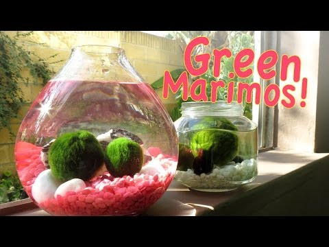 How To Keep Your Marimo Green for FREE + GIVEAWAY! *Entry Closed*