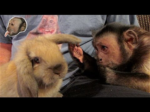 Capuchin Monkey Meets An Easter Bunny