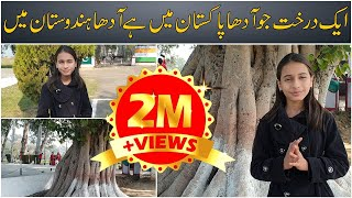 Interesting story of a tree which is half Pakistani, half Indian | Mahrosh Khan | Bipta