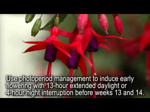 Production Tips for Growers: Angel Earrings Fuchsias