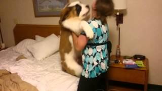 St Bernard Puppy - Doesn