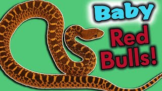 RED Bullsnakes Hatching and Eating for the First Time!