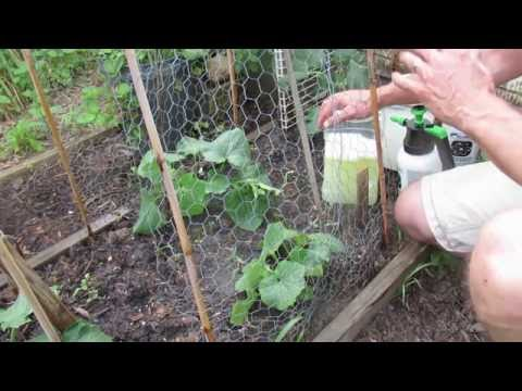 How to Effectively Spray Cucumbers for Pests and Disease Management: Schedule & Products -TRG 2016