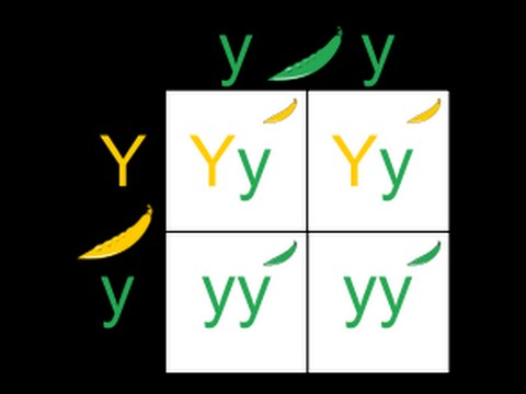 Punnet Square tutorial and genetic assortment discussion