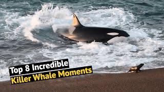 Top 8 Incredible Killer Whale (Orca) Encounters