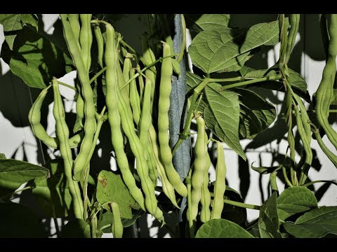 Productive, beautiful and delicious white pole bean, one of the best