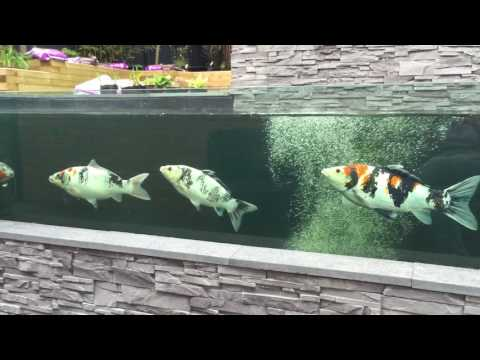 Koi Pond with Viewing Window