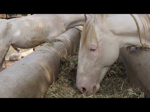 घोड़े को भोजन में क्या खिलाये, What to feed the horse in the food