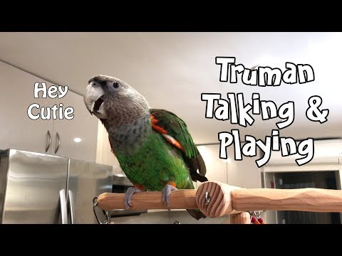 Xxx Mp4 Truman Cape Parrot Talking And Playing On His Tree 3gp Sex