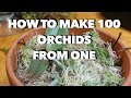 How to Make 100 Orchids From One Without Keiki Paste