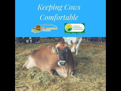 Keeping Cows Comfortable