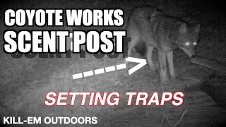Download Sent Post Set Nearly Nailed A Coyote... Video