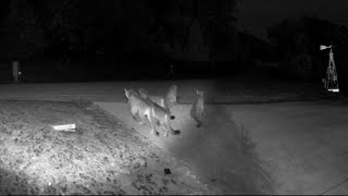 Five mountain lions seen together on home video
