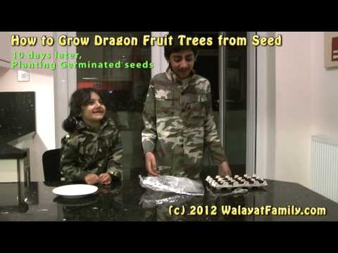 How to Grow a Dragon Fruit Tree From Seed, Germinate, Planting and 3 Month Growth