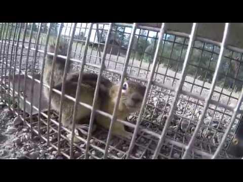 Colorado Ground Squirrel Trap