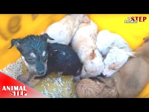 Poor Stray Puppies Stayed Hunger Even No Mother Getting Rescued