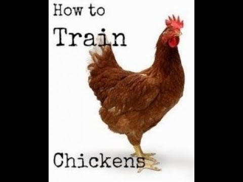 BEST WAY TO TRAIN CHICKENS TO COME WHEN CALLED HOW TO GET CHICKENS TO GO IN COOP WHEN CALLED