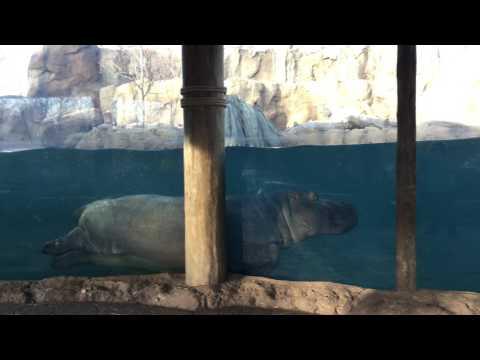 Henry & Bibi hippos at Cincinnati Zoo