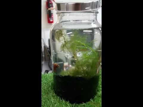 Betta fish tank - Low maintenance aquarium.