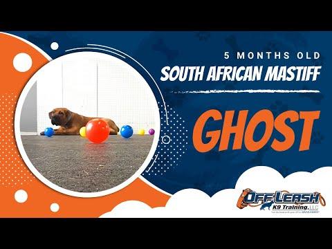 5-Month Old South African Mastiff, Ghost!  Boerboel Dog Training | Boerboel Off Leash