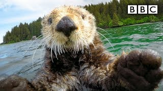 Cute otters intimately filmed by spy camera - Spy in the Wild: Episode 2 Preview - BBC One