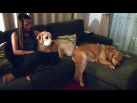 Golden retriever family on the sofa