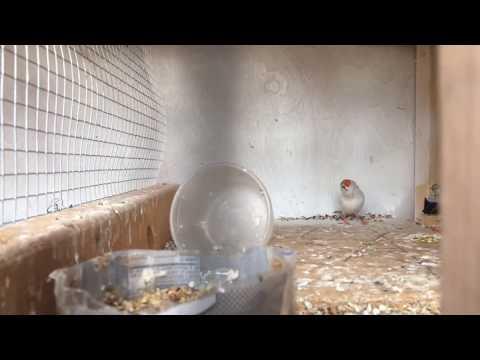 Zebra Finch Update/ Missing Eggs