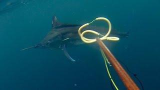 Spearfishing Black Marlin - Tim McDonald