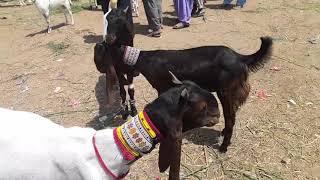 Pateri, Kamori Breed Goats (Attaullah Goat Farm) Documentary