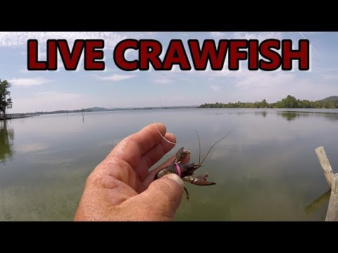 Bass Fishing With Live Crawfish