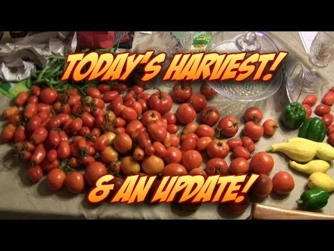 Today's Harvest of Tomatoes, Squash, Beans, & a Tease